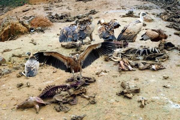 buitres - halconeros de castilla