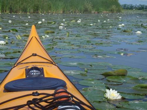 A kayaker parts through the many lily pads as frogs croak and look onward during the spring season on the Grand River