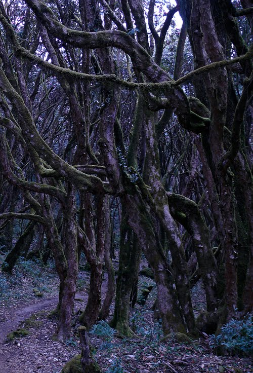 Rhododendron Forest, Nepal