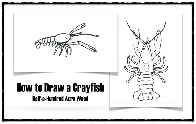 how to draw a crayfish  u0026 crayfish anatomy