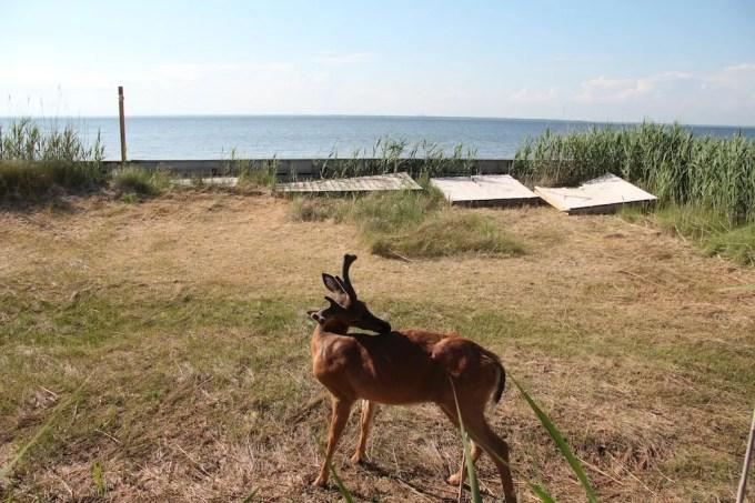 Fire Island Deer In Yard