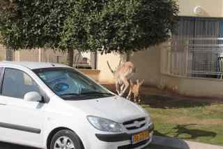 Ibex on Car