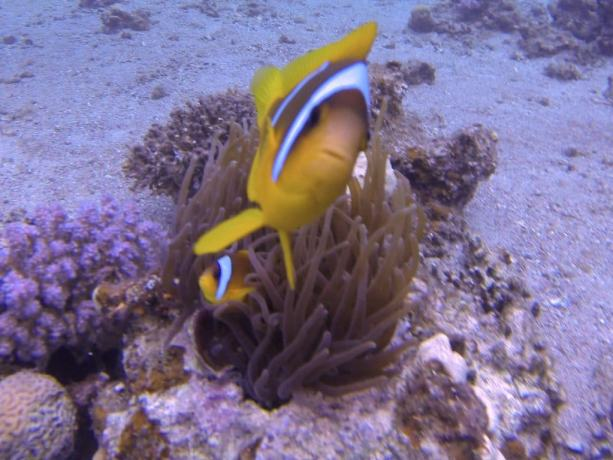Red Sea Diving Clown Fish