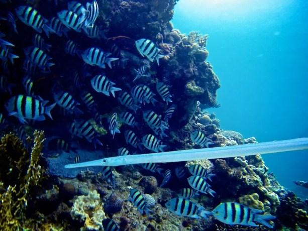 Red-Sea-Diving-Fish