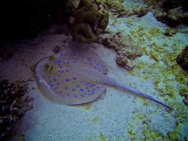 Red-Sea-Diving-Ray