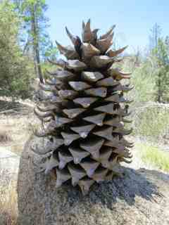 Huge Pinecone