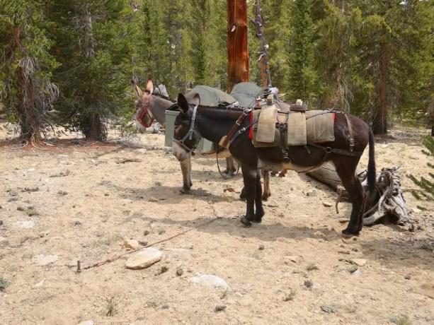 PCT Donkeys