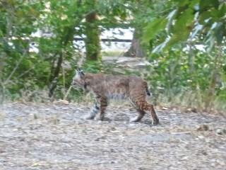 PCT Bobcat