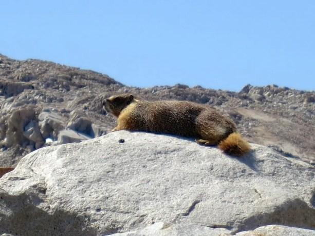 21 Marmot Closeup
