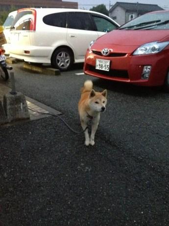Shiba Inu Japan