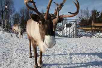 That Time Some Reindeer Tried To Kill Me