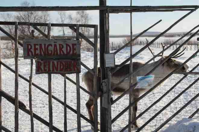 Sweden Reindeer 5