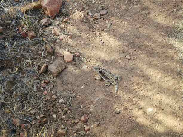 Pacific Crest Trail Desert Horny Toad