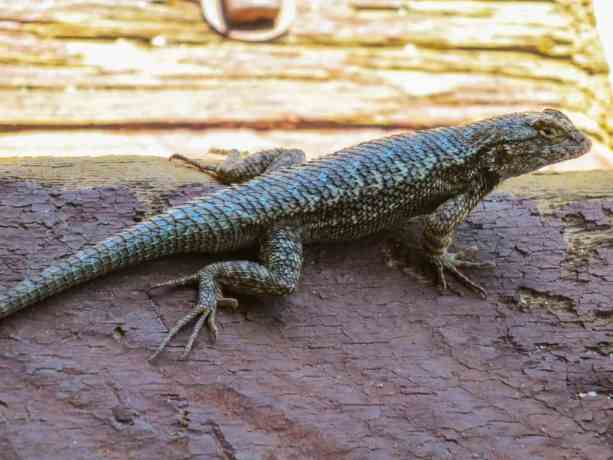Pacific Crest Trail Desert Lizard
