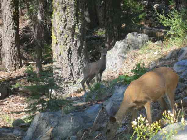 Pacific Crest Trail Northern California Deer