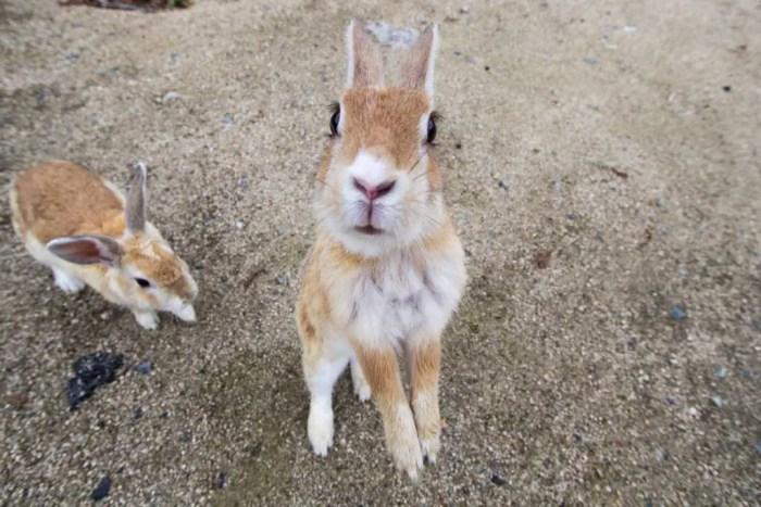 Japan-Hiroshima-Bunny-Island-Bunny