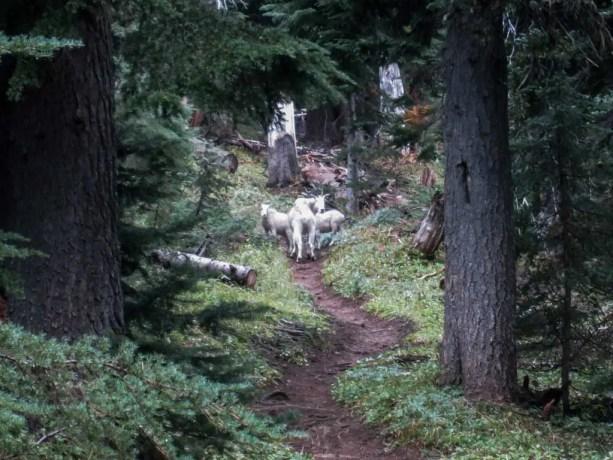 PCT-Washington-Mountain-Goats