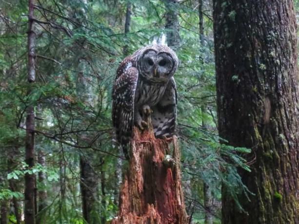 PCT-Washington-Owl