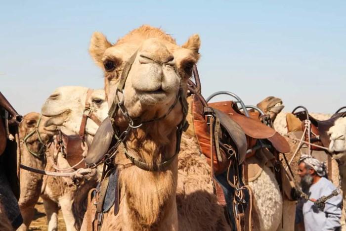 Israel-Negev-Camel