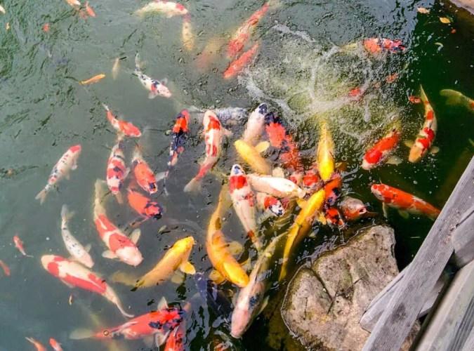 Japan-Fukui-Koi-Fish