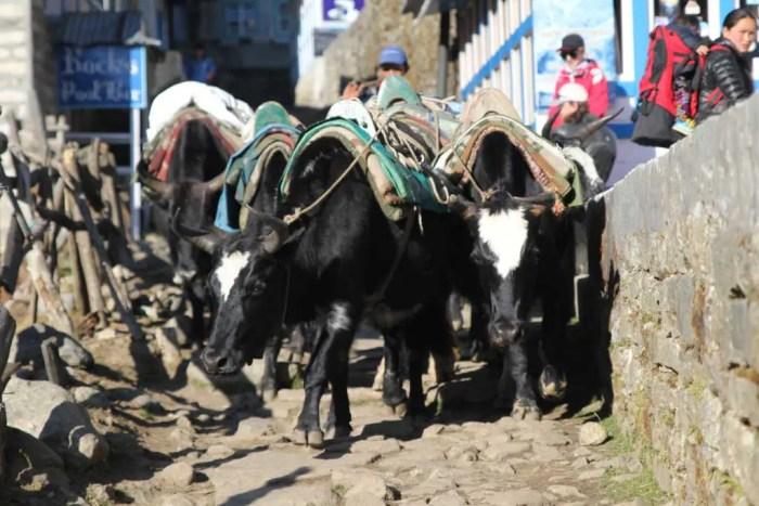 Nepal-Himalaya-Oxen