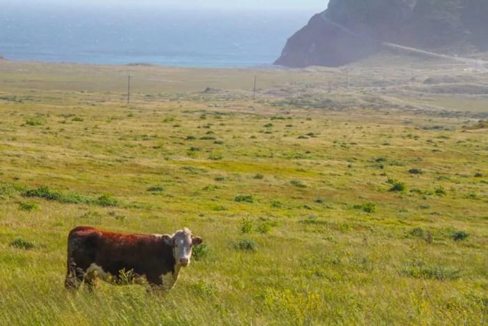 USA-California-Cow