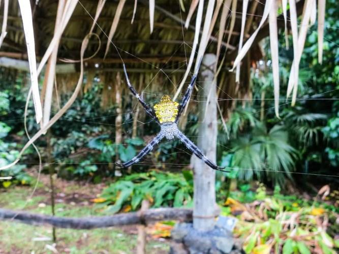 USA-Maui-Spider