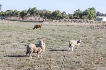Australia-Bike-Sheep