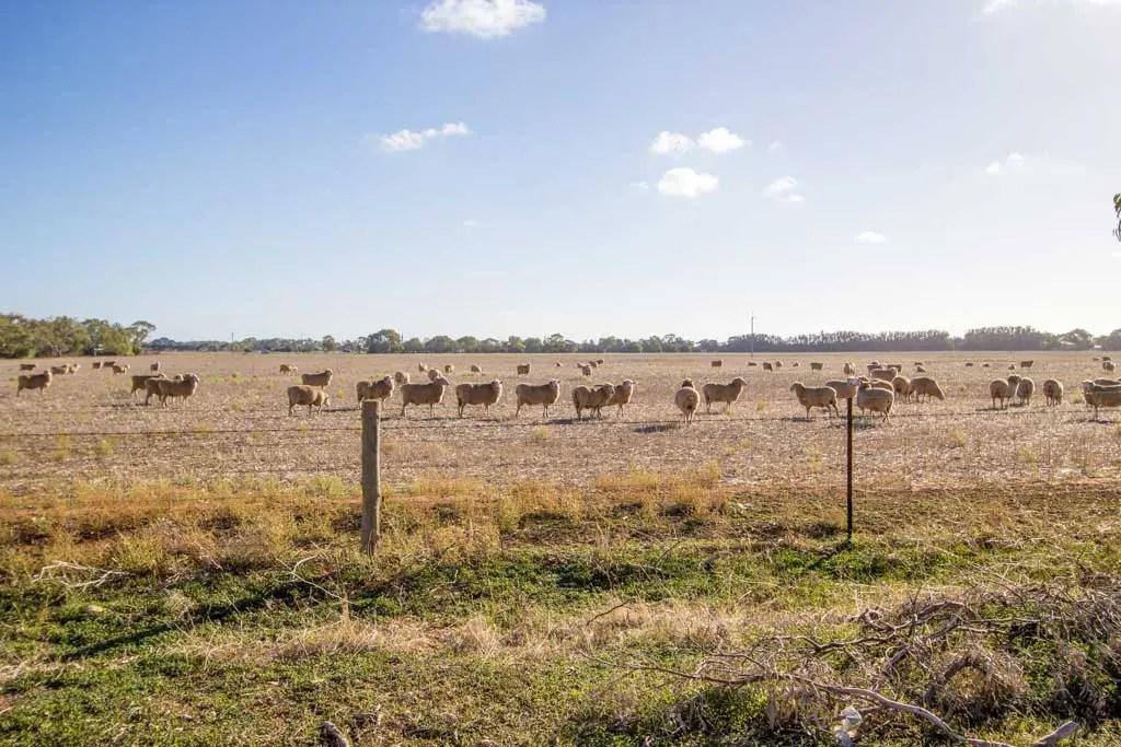 Australia-SA-Sheep