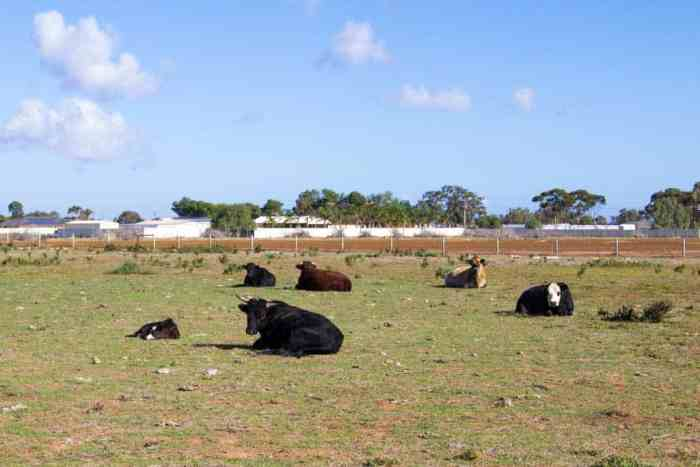 Australia-Outback-Cows