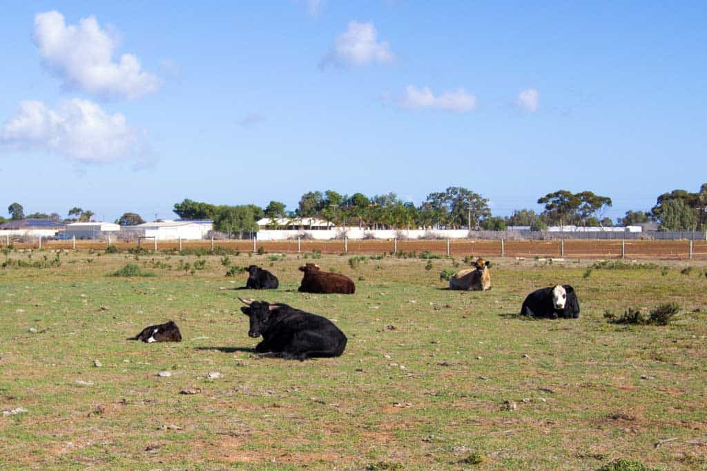 Australia-Outback-Cows