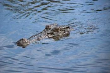 Crocodile-Stock
