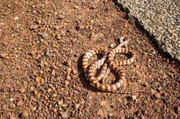 Australia-Outback-Dead-Snake