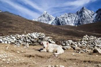 Nepal-Three-Passes-Trek-Day-12-6-Yak
