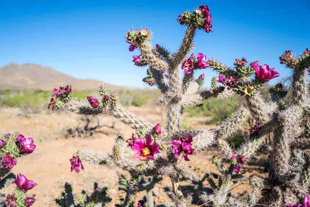 CDT-New-Mexico-Bootheel-Gallery-Cactus-Flower