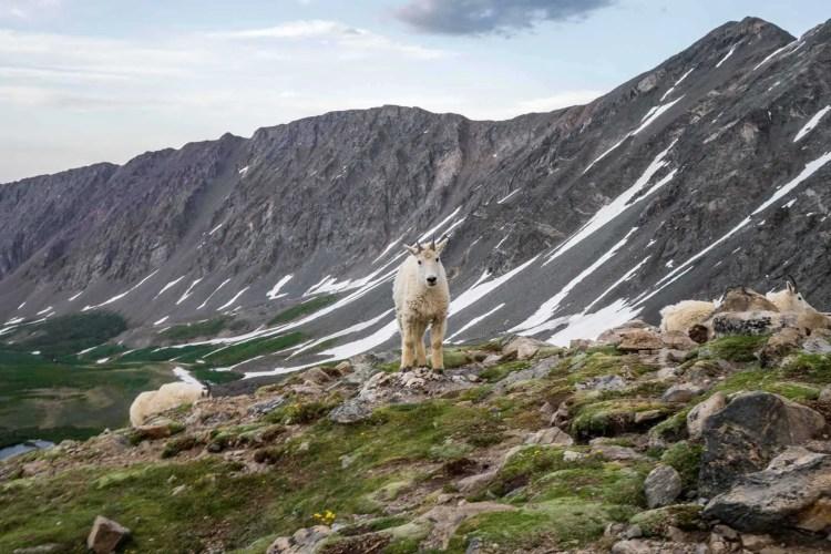 CDT Colorado Mountain Goat