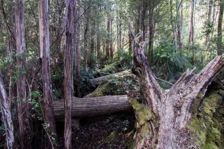 Tasmania Federation Peak Track Blowdowns