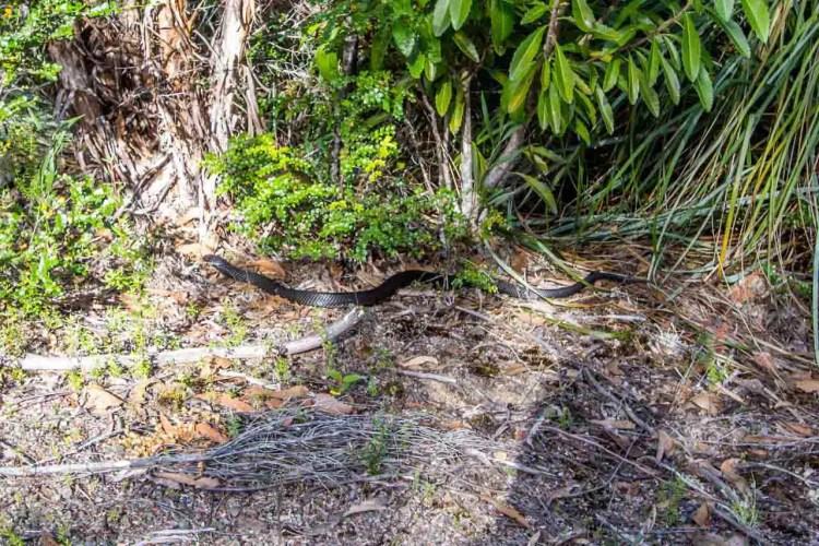 Tasmania Federation Peak Track Snake