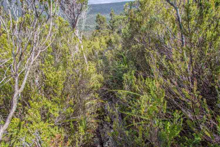 Tasmania Mount Anne Circuit Brush