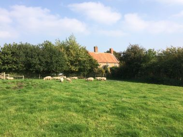 Sheep in distance by house