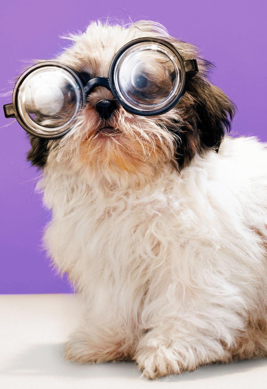 Shih Tzu Dog In Glasses Funny Birthday Card Greeting