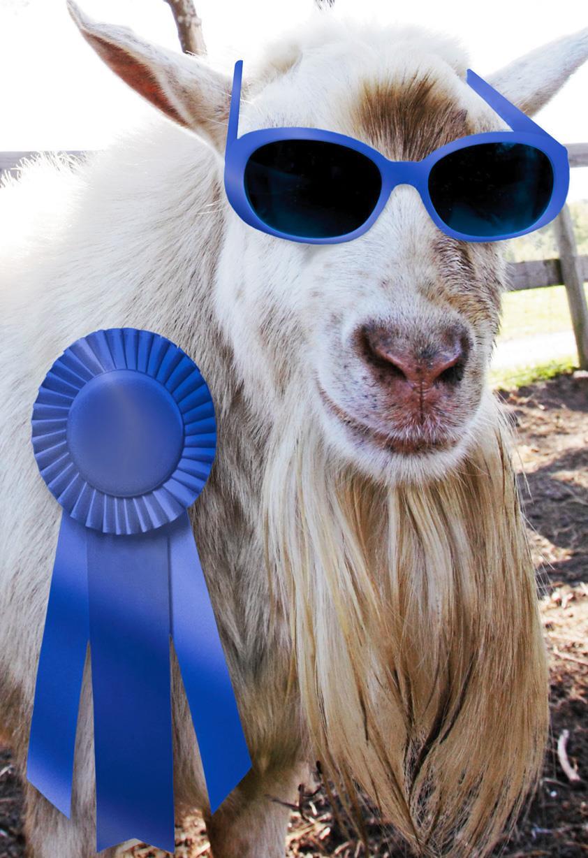 Blue Ribbon Goat Funny Congratulations Card Greeting