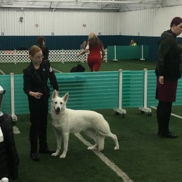 2.5 yrs old UKC Emerald GCH pointed November 2019 Dayton OH