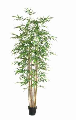 250Cm Bamboo With Pot