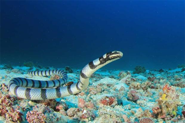 اس کے سامنے تو کوبرا سانپ بھی کچھ نہیں-- دنیا کے سب سے خطرناک سمندری جانور جن کے بارے میں جان کر آپ پانی میں پاؤں بھی نہیں رکھیں گے 1