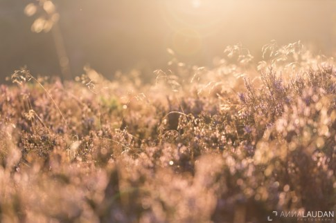 Heath-in-golden-light-I