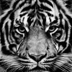 Untitled (Tiger), 2012