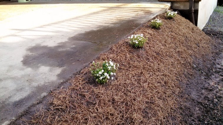 Pine needle mulch on a small slope