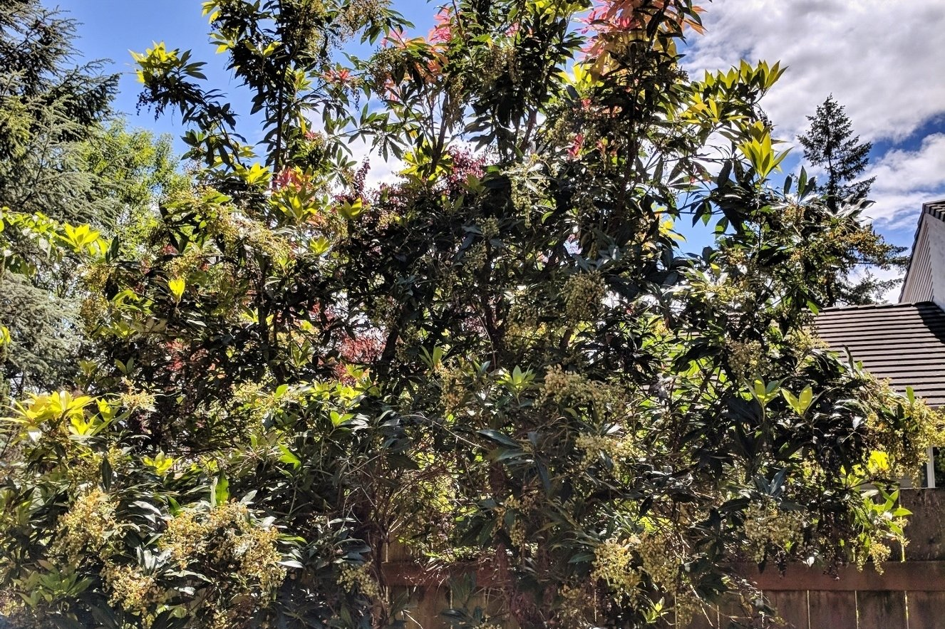 How to prune a pieris shrub
