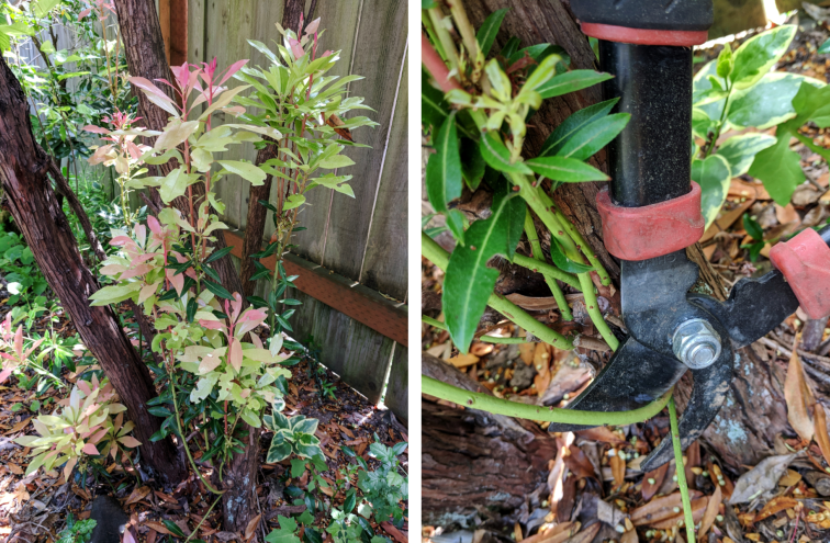 Snipping lower branches off a pieris shrub